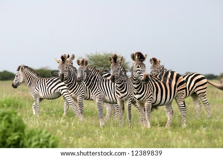 Herd of Burchell's zebras looking at camera. Nxai Pans national park. Botswana. Africa