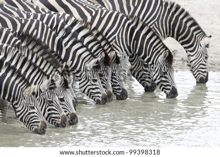 Herd of Burchells Zebra (Equus burchellii) drinking water in South Africa's Kruger Park