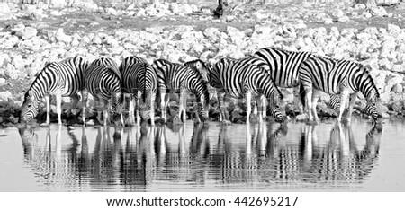 Stock Photo Herd of Burchells zebra (Equus quagga)drinking from a waterhole in Etosha in black & white