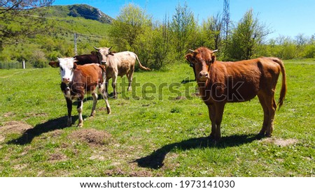 Herd of calves and cows grazing in nature Stockfoto ©