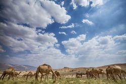 Herd of camels grazing