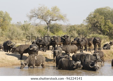Herd of Cape Buffalo (Syncerus caffer), drinking in Kruger Park, South Africa