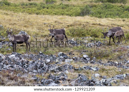 Herd of caribous in Alaska