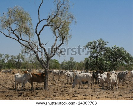 Herd of cattle grazing on aridly land with dry grass and shrubby vegetation. Northern Territory, Australia