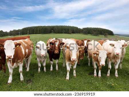 Herd of cattle in English countryside