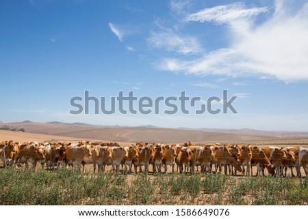 Herd Of Cattle In Farm Field In Swellendam Area Of Western Cape In South Africa