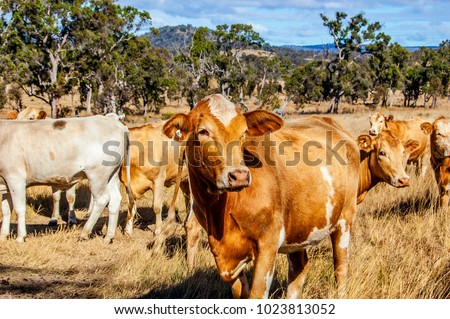 Herd of Charolais cross Brahman cattle. Charbray, a versatile beef breed, combines lean beef characteristics and docile temperament of the Charolais with hardiness and tick resistance of the Brahman.