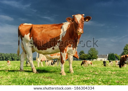 Herd of cows at green field