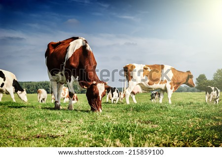 Herd of cows at summer green field - Shutterstock ID 215859100