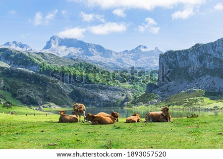 Herd of cows at the foot of the imposing Picos de Europa in front of Lake Ercina. Photograph taken in the Lakes of Covadonga, Asturias, Spain. Stockfoto ©