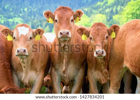 Herd of Cows close up - Limousin breed #1427834201
