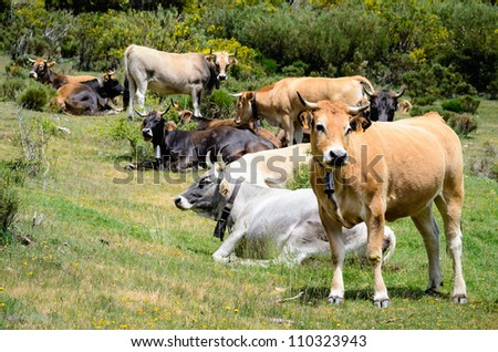 Herd of cows graze and rest in nature.