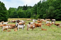 Herd of cows grazing in a pasture near the forest