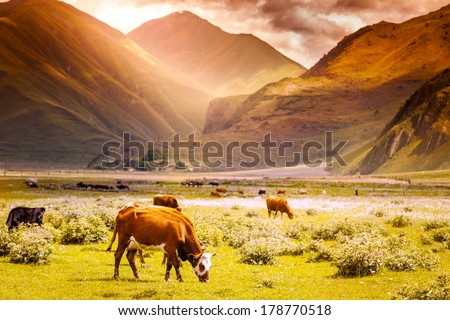 herd of cows grazing on a background of mountain scenery at sunset