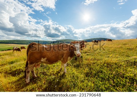 Herd of cows grazing on sunny summer field, one animal looking curiously