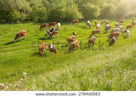 Herd of cows in a natural environment grazing on idyllic pasture illuminated by the morning sun.