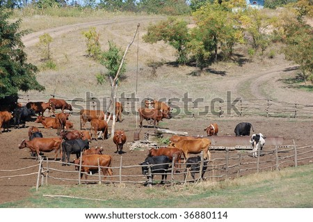 Herd Of Cows. stock photo : Herd of cows in