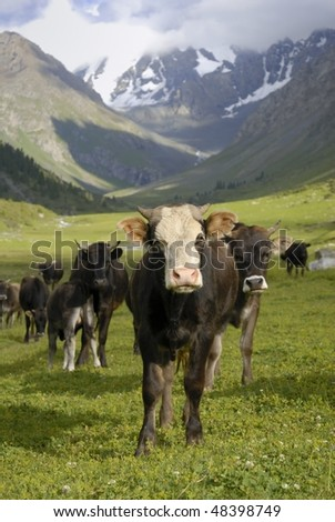 herd of cows in mountain valley #48398749