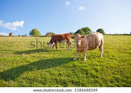 Herd of cows in rural field