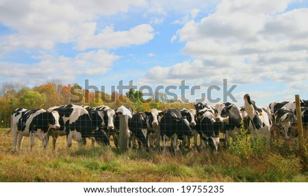 herd of cows lined up against fence