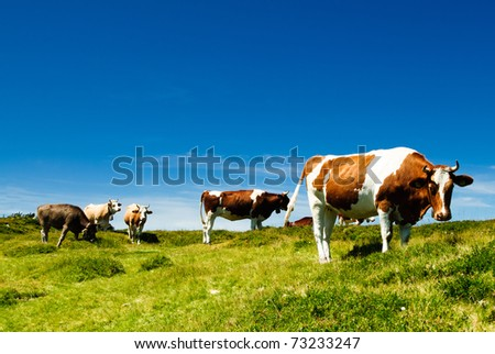 herd of cows on a alpine meadow