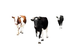 herd of cows on a white background isolated