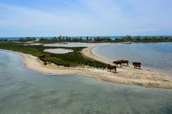 Herd of cows on sandy sea shore, aerial view