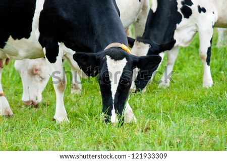 herd of cows on the pasture