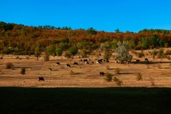 Herd of cows on the pasture . Domestic animals grazing in the autumn