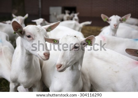 herd of curious white goats outside farm in holland