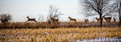 Herd of deer (odocoileus virginianus) running through a Wiscosin cornfield