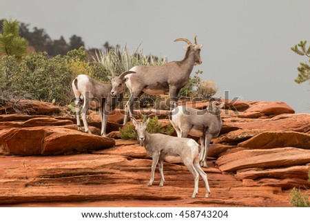Herd of Desert Bighorn Sheep