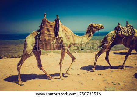 Herd of dromedary camels on the shore of the Red Sea.  Egypt. Filtered image:cross processed lomo effect.