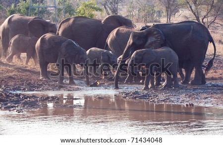 Herd of elephant drinking water  at a muddy hole