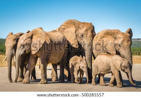 herd of elephant  family of...