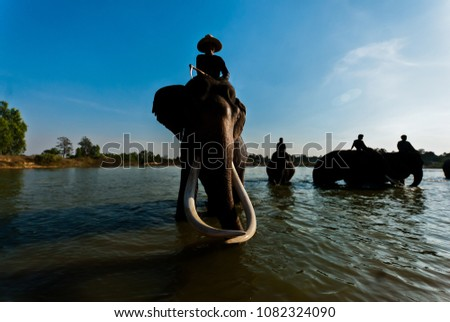 Stock Photo Herd of elephants bathing in  river