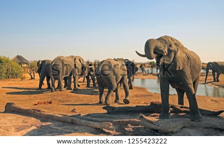 Herd of Elephants drinking from the camp waterhole, with a thatched lodge in the distance and clear blue hazy sky.  It is hazy due to dust particles and heat haze. Hwange National Park, Zimbabwe