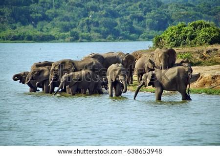 Herd of elephants drinking water in Queen Elizabeth National Park, Uganda