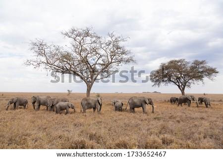 Herd of elephants from Serengeti National Park, Tanzania, Africa. African wildlife Stock photo ©