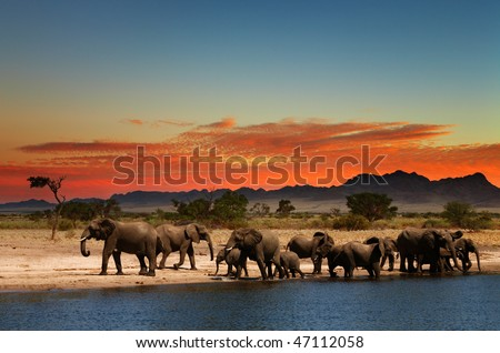 Herd of elephants in african savanna at sunset