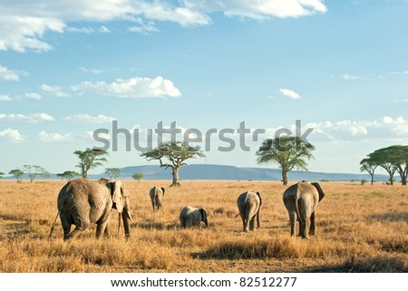 Herd of Elephants in the evening sun of the dry plains of Serengeti, Tanzania