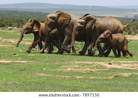 herd of elephants running towards a waterhole - stock photo