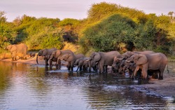Herd of elephants standing next to each other and drinking water from a water source,  in South Africa, Kruger National Park