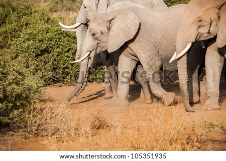 Herd of Elephants travel through Kilimanjaro at dawn
