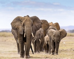 herd of elephants walking directly to camera