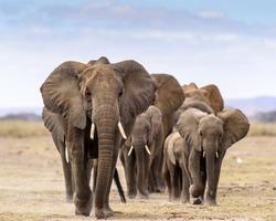 herd of elephants walking directly to camera