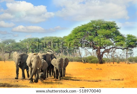 Herd of elephants walking from the bush across the dry parched African Plains with a cloudy blue sky in Hwange national park, Zimbabwe, Southern Africa
