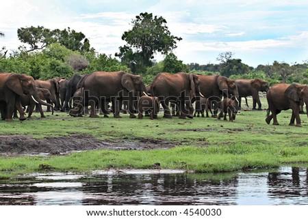 herd of elephants walking, Okavango Delta. Loxodonta africana ,Elephas maximus