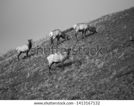 Herd of Elk at Yellowstone National Park
