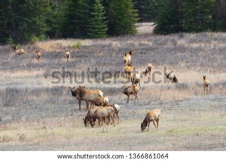 Herd of Elk, British Columbia, Canada, Canadian Rockies, wildlife, Rocky Mountains, mother nature #1366861064